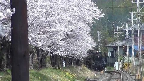 cherry tree investments v landmain 2012 sl c58 363始動 桜満開2012春 cherry tree bloom and a steam locomotive