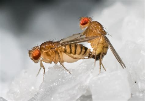 fruit flies in something in makes female fruit flies super