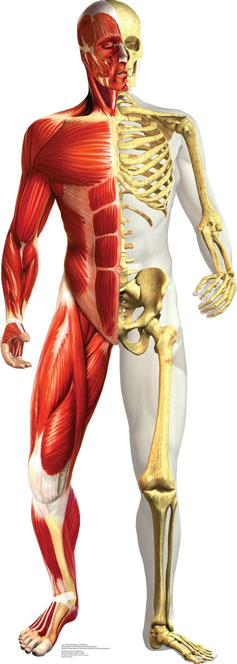 Cb0130 Slaber Type 2 Motif P best 25 skeleton muscles ideas on