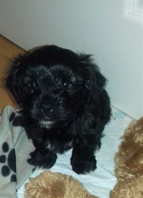 yorkie shih tzu for sale terrier shih tzu puppies for sale redruth cornwall pets4homes