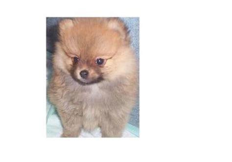 pomeranian 3 months pomeranian puppies sold 3 months pomeranian puppy 3 months from kluang johor