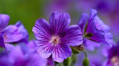 violetta fiore violetta fiore piante annuali la violetta fiore di
