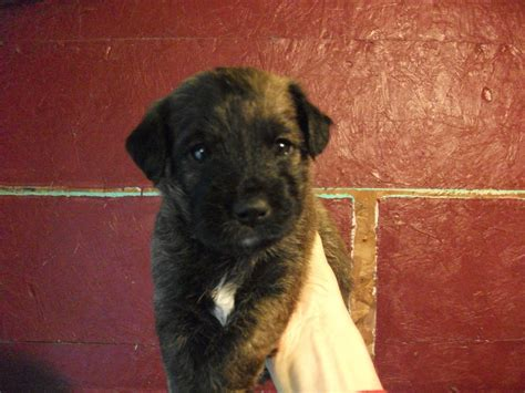 boxer puppies for sale in maine boxer poodle mix puppies for sale adoption from greenbush maine adpost