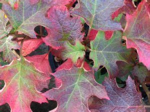 ruby slippers hydrangea deer resistant plant combinations for fall triangle gardener magazine