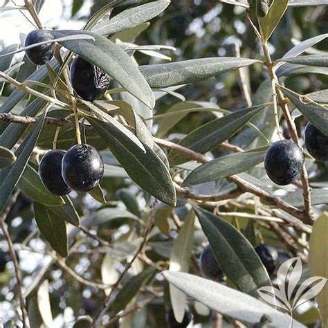 Kitchen Paint Ideas Arbequina Olive Tree Oliarbbp The Home Depot