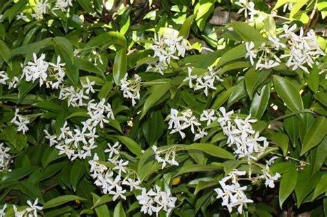 fiori gelsomino falso gelsomino trachelospermum jasminoides somanum