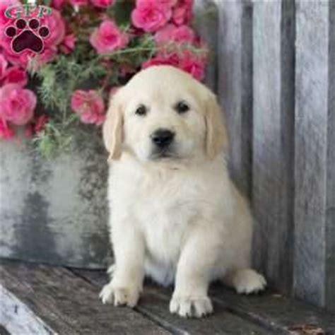 miniature golden retriever ohio golden retriever puppies for sale greenfield puppies