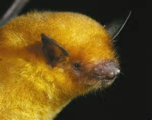 Bats In Bat Conservation In Threatened Ecosystems Bolivia