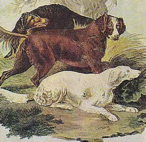 the russian setter canis lupus hominis old depiction of some setters canis lupus hominis