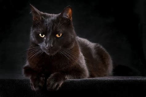 of a black cat the black cat s luck animal literature