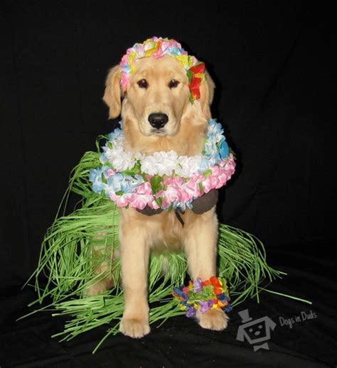 golden retriever puppies hawaii golden retriever dogs in duds for dogs who like to dress up