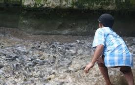 berternak ikan lele dumbo rtn budidaya lele cara dan tips berternak lele
