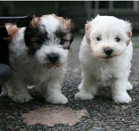 how much do havanese puppies cost havanese puppies photos jpg