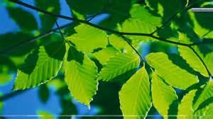 leaves on tree wallpaper