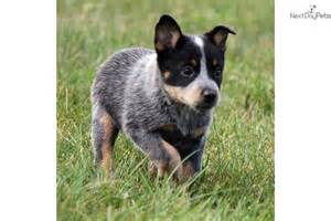 Find australian cattle dog blue heeler puppies for sale from dog dog