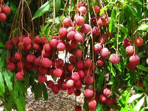 lychee house lychee tree hd wallpaper