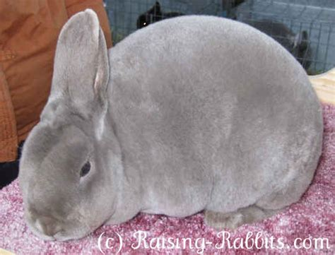 can rabbits see color d locus rabbit colors rabbit coat color genetics information