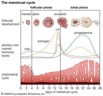 menstruation | Britannica.com Female Period Cycle