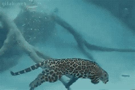 jaguar swimming gif find on giphy