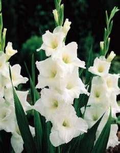 imagenes flores gladiolos fotos de gladiolos gladiolos tatiana