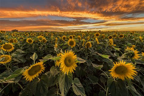 sunflower field five sunflower fields to visit in new england boston
