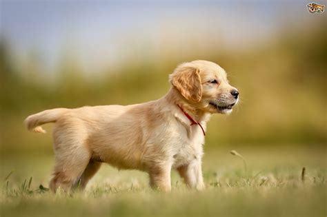 golden retriever to buy golden retrievers the family dogs breeds picture