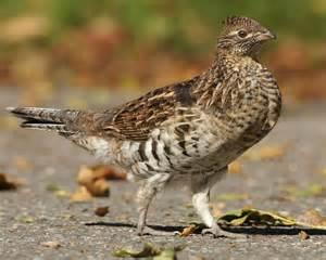 bird l ruffed grouse audubon field guide