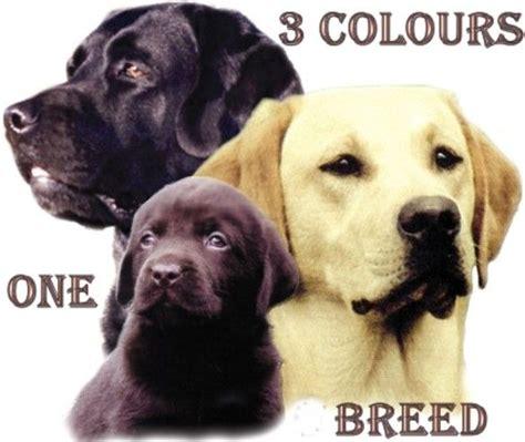 labrador colors labrador retrievers labs 3 colors one breed