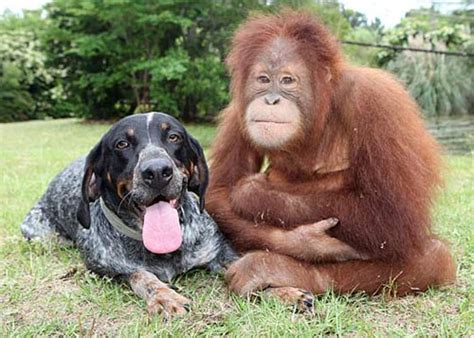 monkey and puppy orangutan and monkey become friends amazing photos