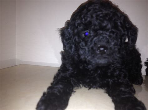 mini poodle puppies beautiful miniature black poodle puppies 375 middlesex pets4homes