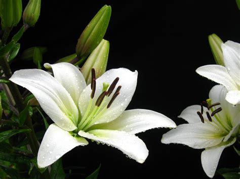 White Lilies white water drops ii by foxytocin on deviantart