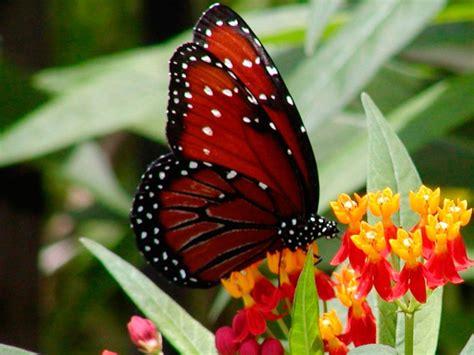 imagenes mariposas rojas mariposa roja im 225 genes y fotos