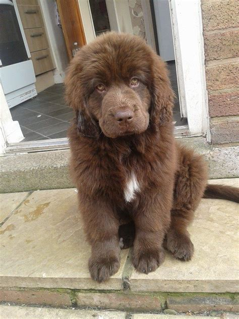 brown newfoundland puppies for sale beautiful brown newfoundland for sale holywell clwyd pets4homes