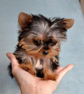 where can i buy teacup yorkies 17 best ideas about yorkie puppies on teacup yorkie terriers