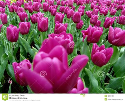 tulips in full bloom stock photography image 12838162