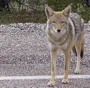 facts about coyotes for kids coyote fun facts for kids