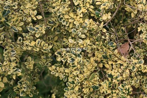 Azara Diskon pictures and description of azara microphylla variegata