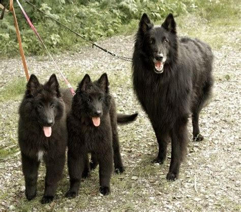 groenendael puppies german shepherd for sale thailand pictures and images
