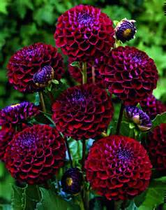 top 10 tips on how to plant grow and care for dahlia