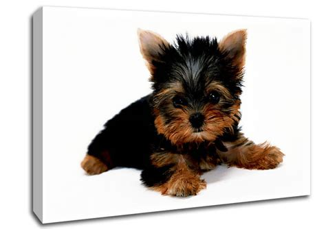 lifespan yorkie terrier puppy canvas stretched canvas