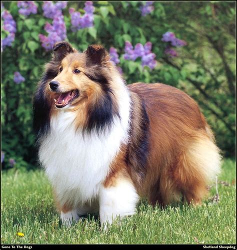 Fashion Colly 73 21 best pastores shetland sheepdog images on