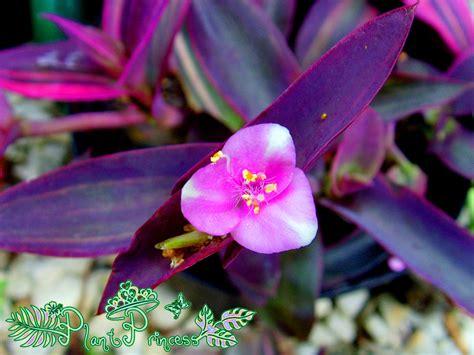 plant princess variegated purple queen