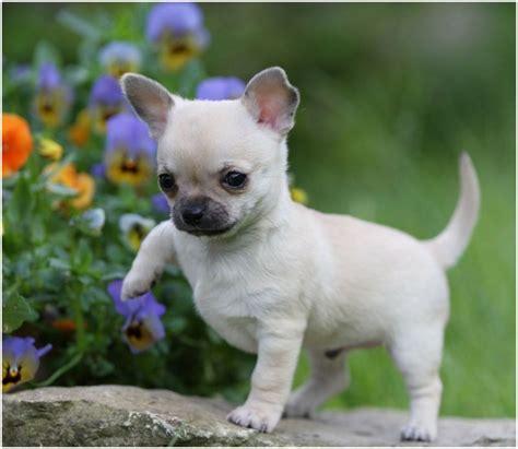 how many puppies does a chihuahua chihuahua facts pictures temperament puppies information animals adda
