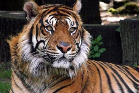 minicuentos de tigres y lista animal mas bonito del mundo
