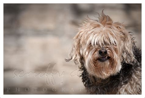 scruffy puppy a true scruffy 187 scruffy photography award winning professional pet