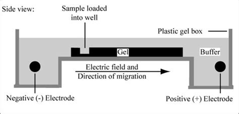 diagram of electrophoresis module 1 2 agarose gel electrophoresis labs