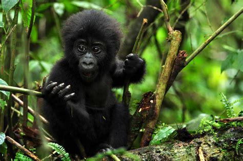 Gorilla Trekking Uganda | Gorilla Tracking Tour Uganda ...