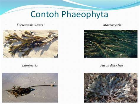 contoh biomaterial xmia13 phaeophyta