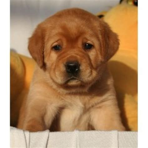 lab puppies for sale in central illinois mythic labradors llc labrador retriever breeder in
