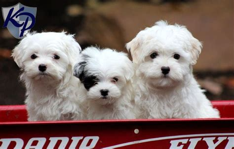 maltipoo puppies for sale in oklahoma best 25 maltipoo puppies for sale ideas on maltipoo for sale teacup